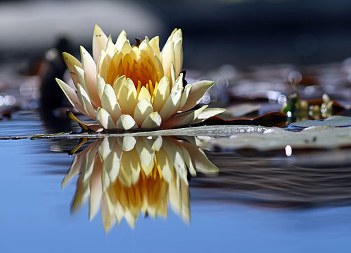 512px-Flower_reflection
