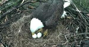 eagle turning eggs